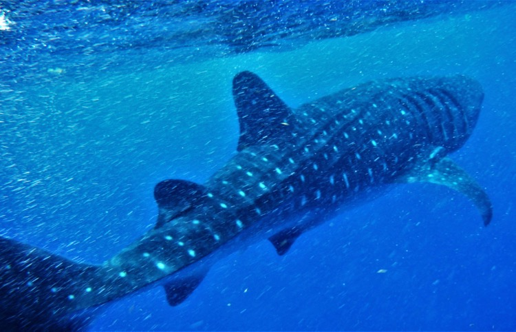 How to snorkel with whale sharks in Cancun